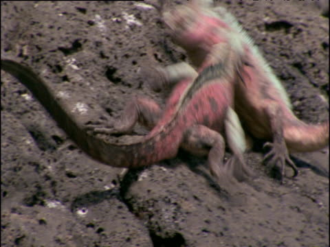two colourful male marine iguanas attack each other on rocks, galapagos islands - pink colour stock videos & royalty-free footage