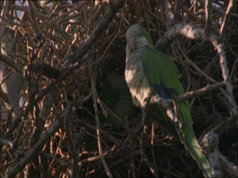 stockvideo's en b-roll-footage met two colourful monk parakeets perch in and near their nest. - plant attribute