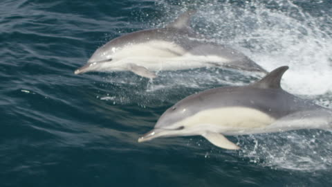 stockvideo's en b-roll-footage met two common dolphins leaping out of water - dolfijn