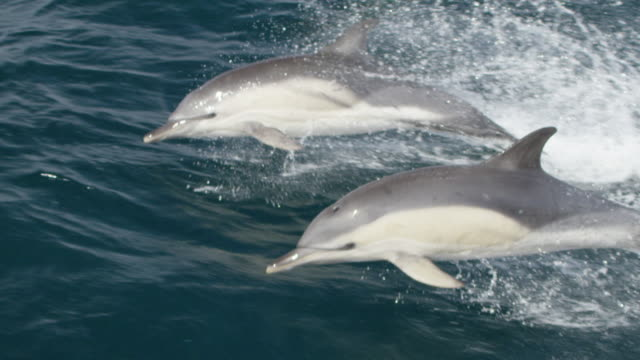 two common dolphins leaping out of water - atlantic ocean stock videos & royalty-free footage