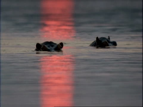 mcu two common hippopotamus peering out of water, pink sunset reflecting in water, mana pools, zimbabwe - repubblica dello zimbabwe video stock e b–roll