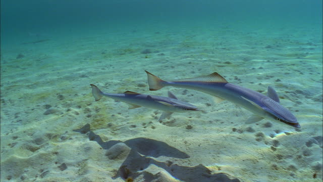 slo mo ms two common remoras (remora remora) swimming at ocean floor / moorea, tahiti, french polynesia - moorea stock videos and b-roll footage