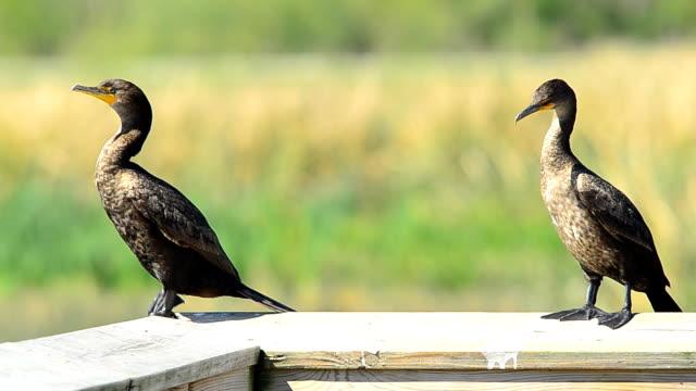 zwei kormorane hängen auf einem holz handlauf verfügt - rotschulterstärling stock-videos und b-roll-filmmaterial