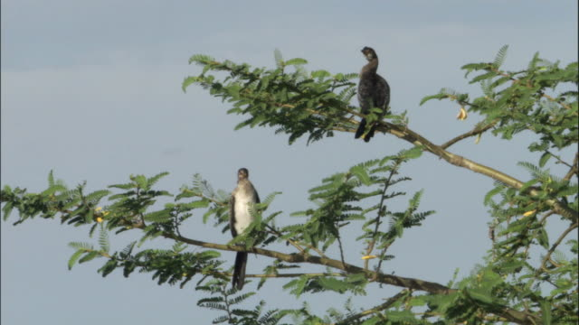 ws two cormorants perched on tree, ngamba island chimpanzee sanctuary, ngamba island, uganda - dragon tree stock videos & royalty-free footage