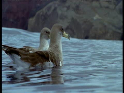 two cory's shearwaters bob on water, azores - 大西洋諸島点の映像素材/bロール