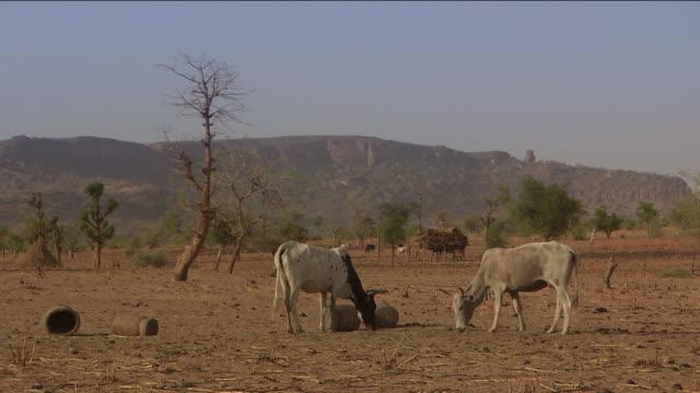 two cows grazing in africa - landwirtschaft stock-videos und b-roll-filmmaterial
