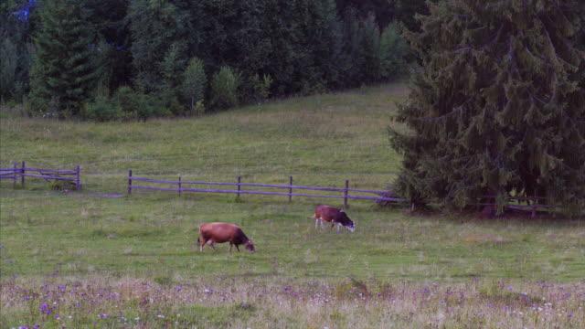 vidéos et rushes de deux vaches paissant sur prairie - vache