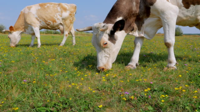 Two cows grazing on meadow