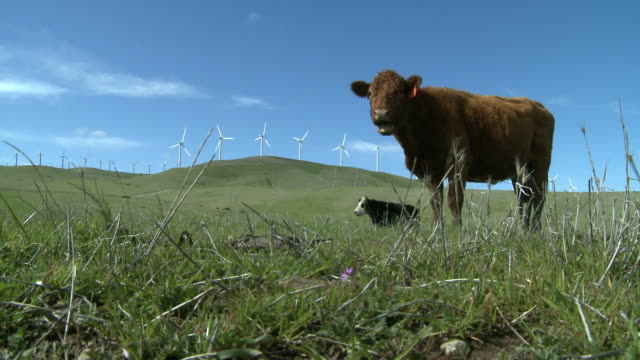 ms, two cows in field, wind turbines on hill in background, alameda county, california, usa - viehweide stock-videos und b-roll-filmmaterial