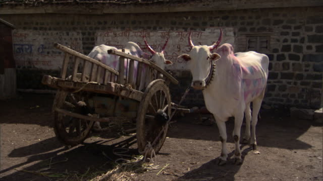 WS Two cows, painted for celebration, waiting next to cart in village, Pune, Maharashtra, India