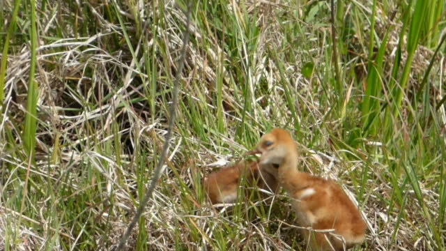 two crane chicks greeting each other - sandhill crane stock videos & royalty-free footage