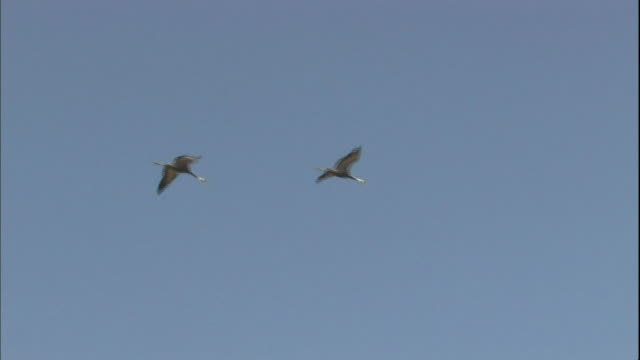two cranes fly against a blue sky. - 鳥点の映像素材/bロール