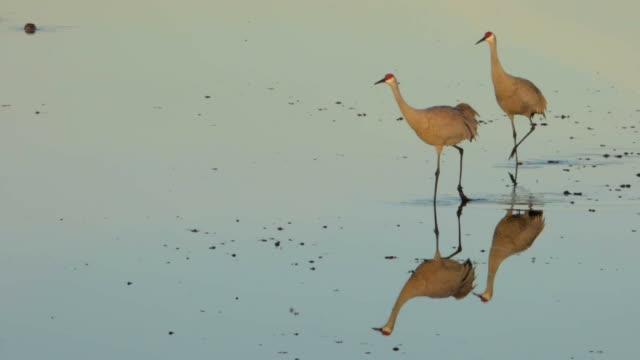two cranes walking in water - sandhill crane stock videos & royalty-free footage