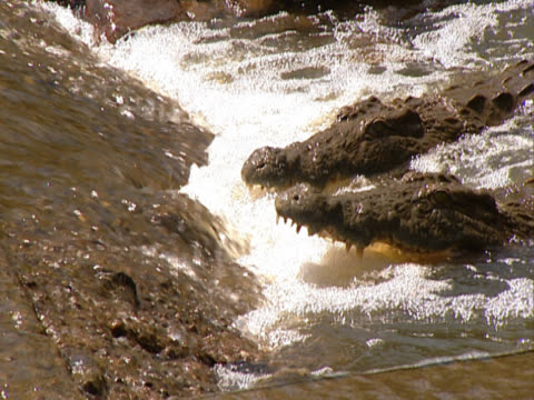 two crocodiles at the base of a small waterfall. heads poking out of the water, they have their mouths open to drink from the fall. shot in south africa. - großwild stock-videos und b-roll-filmmaterial
