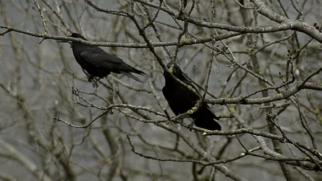 two crows - bare tree stock videos & royalty-free footage