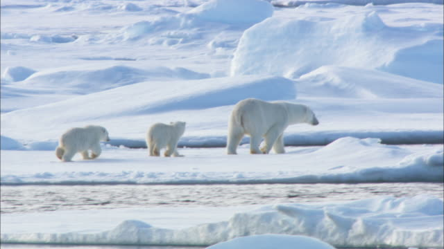 two cubs follow a polar bear across sea ice in svalbard, arctic norway. - raubtier stock-videos und b-roll-filmmaterial