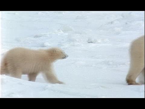 two cubs follow a polar bear across the snow-covered arctic tundra. - 水の形態点の映像素材/bロール