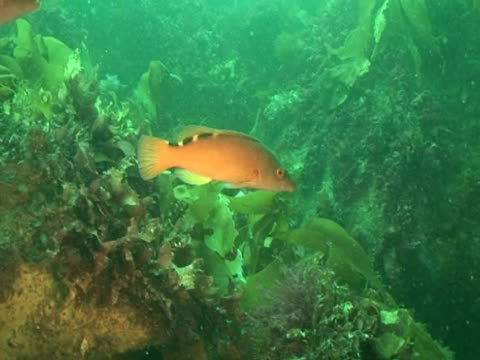 vídeos de stock, filmes e b-roll de two cuckoo wrasse swimming amongst the weeds, with other fish,  - cuckoo wrasse
