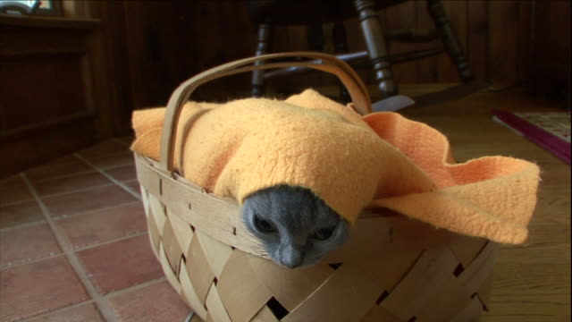 two cute chartreux kittens emerge from a basket. - 隠れる点の映像素材/bロール