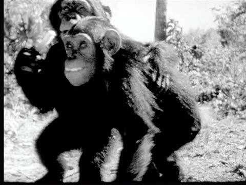 vidéos et rushes de 1948 b/w ms two cute chimpanzees hugging + eating / florida, usa - chimpanzé