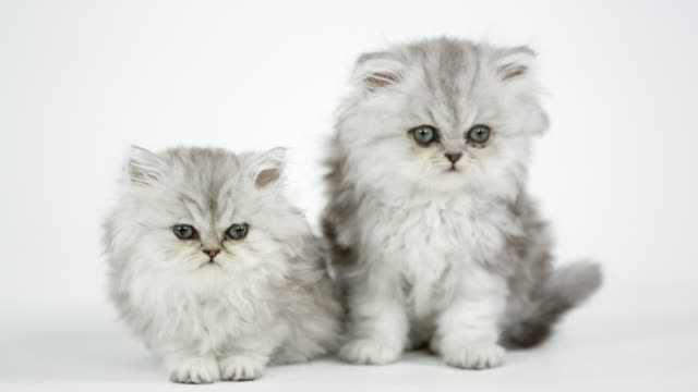 Two cute fluffy kittens against a white screen