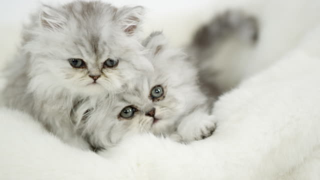 two cute fluffy kittens lying on white blanket - blanket texture stock videos and b-roll footage