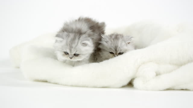 two cute fluffy kittens on white blanket - blanket texture stock videos and b-roll footage