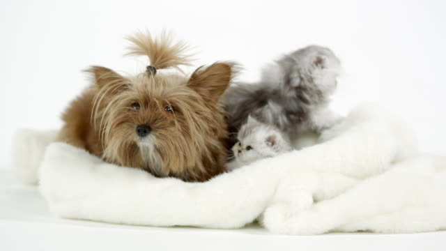 two cute fluffy kittens sitting with puppy on white blanket - dog and cat stock videos and b-roll footage