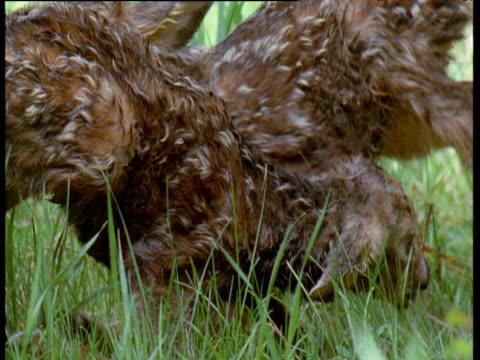 vídeos y material grabado en eventos de stock de two cute newborn mule deer fawns wobble on their feet in long grass, canada - cervato