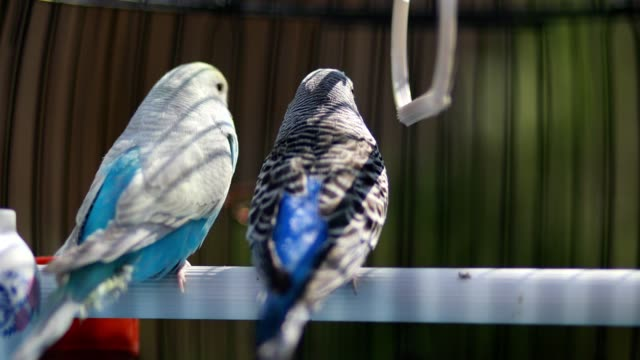 two cute parakeets looking into the distance in their birdcage - budgerigar stock videos & royalty-free footage