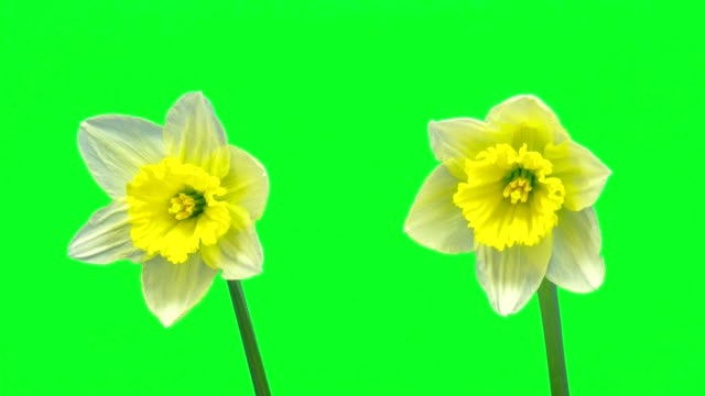 two daffodil flowers timelapse growing and blossoming with alpha channel - daffodil stock videos & royalty-free footage