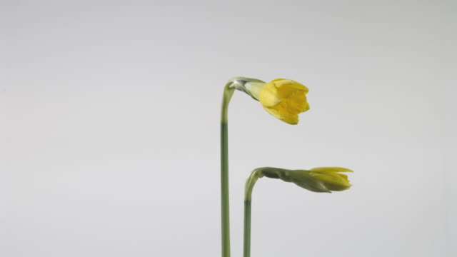 t/l two daffodils (narcissus sp.) opening, rotating, white background - daffodil stock videos & royalty-free footage