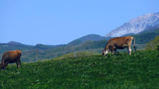 2 酪農牛農場で緑の草を給餌 - 乳製品工場点の映像素材/bロール
