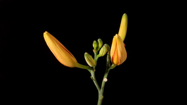two day lily buds - day lily stock videos & royalty-free footage