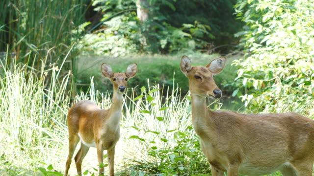 two deer looking at camera - antler stock videos & royalty-free footage