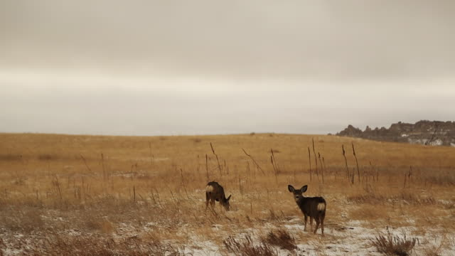 Two deer stand in field in Badlands National Park