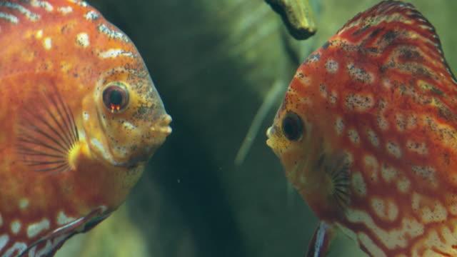 cu two discus fish (symphysodon aequifasciatus) swimming underwater face to face, georgia aquarium / atlanta, georgia, usa - tier in gefangenschaft stock-videos und b-roll-filmmaterial