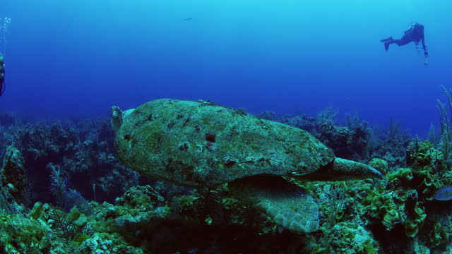 two divers observing loggerhead turtle with short left fin - caretta caretta stock videos & royalty-free footage