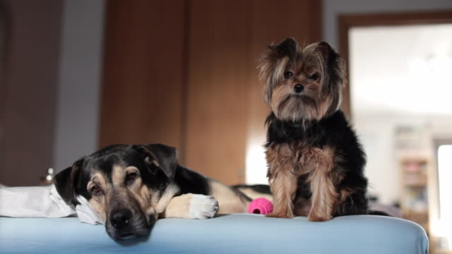 two dogs look at carama from the bedroom bed - loyalty stock videos & royalty-free footage