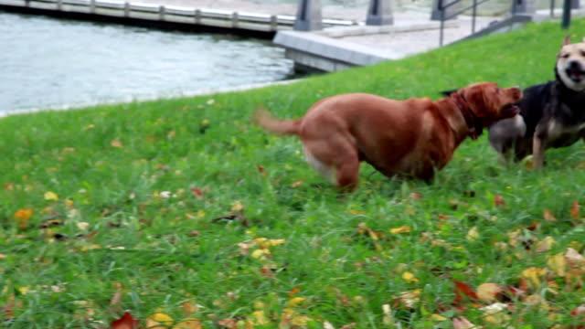 vídeos de stock, filmes e b-roll de dois cães jogando no parque - brincadeira de pegar