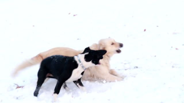 two dogs playing in the snow - two animals stock videos & royalty-free footage