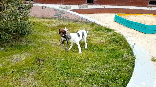Zwei Hunde mit einem Tannenzapfen auf dem Rasen spielen