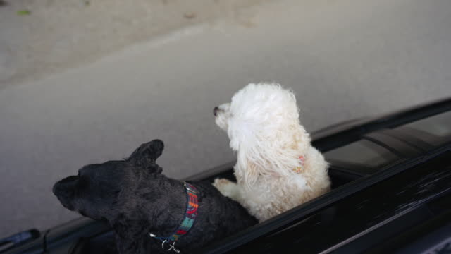 vídeos de stock e filmes b-roll de two dogs riding in car with head out window - two animals
