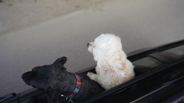 stockvideo's en b-roll-footage met twee honden rijden in de auto met hoofd uit raam - twee dieren