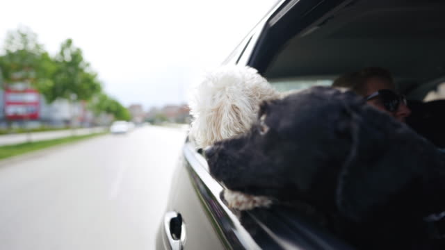 two dogs riding in car with head out window - two animals stock videos & royalty-free footage