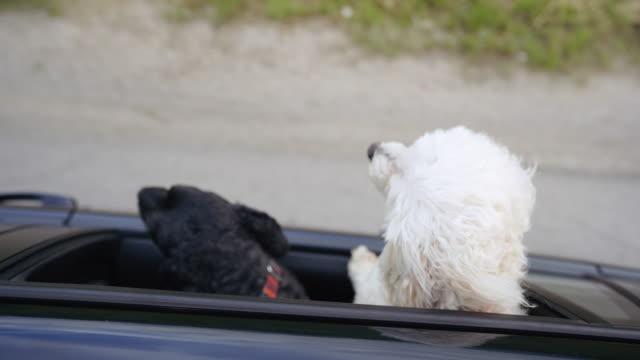 vidéos et rushes de deux chiens conduisant dans la voiture avec la tête dehors la fenêtre - two animals