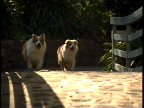 stockvideo's en b-roll-footage met two dogs running over bridge - australische herder
