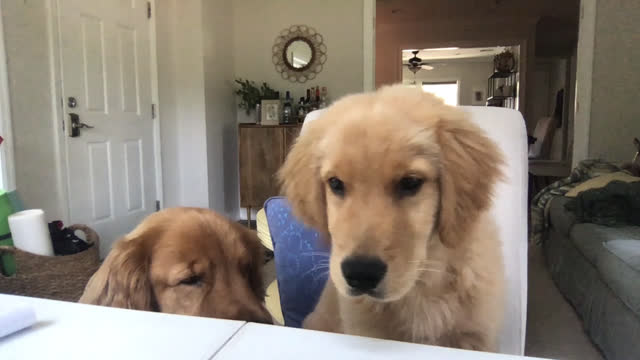 two dogs sit at a desk during a video conference call - chair stock videos & royalty-free footage