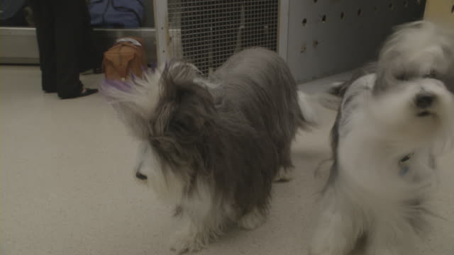 Two dogs stand together in baggage claim after an airport employee releases them from a cage.