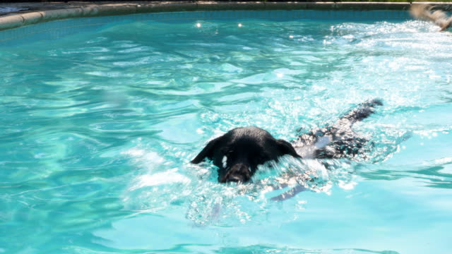 MS Two dogs swimming in backyard pool while chasing toys